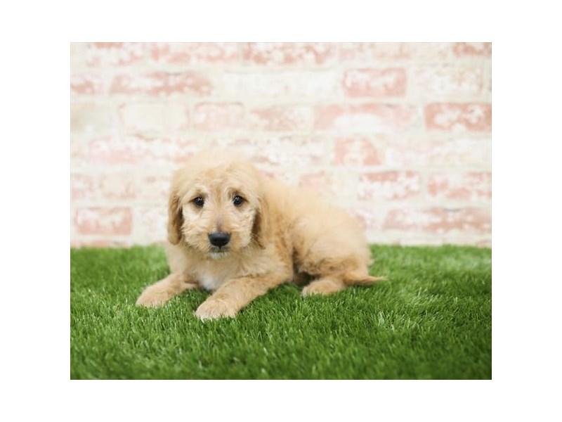 Goldendoodle-DOG-Female-Red-2710324-Petland Naperville