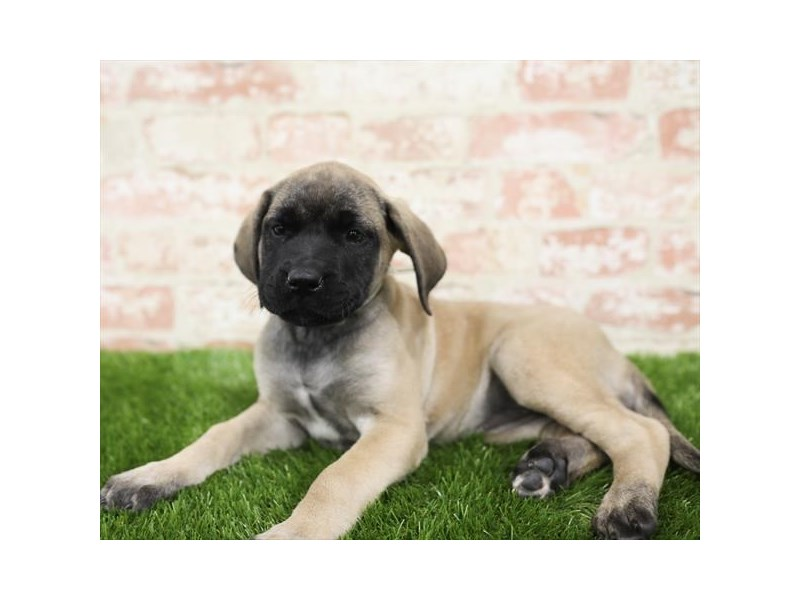 Mastiff-DOG-Female-Fawn-2710325-Petland Aurora