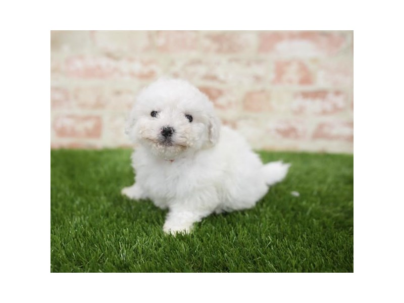 ShizaPoo-DOG-Male-Cream-2710327-Petland Naperville