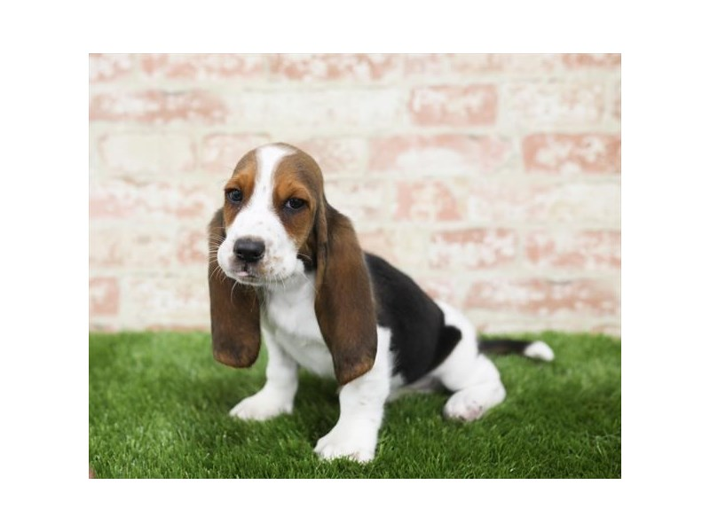 Basset Hound-Male-Tri-Colored-2710328-Petland Naperville