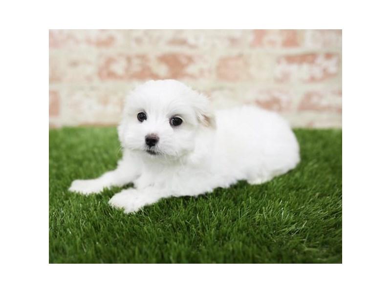 Maltese-DOG-Male-White-2710470-Petland Aurora