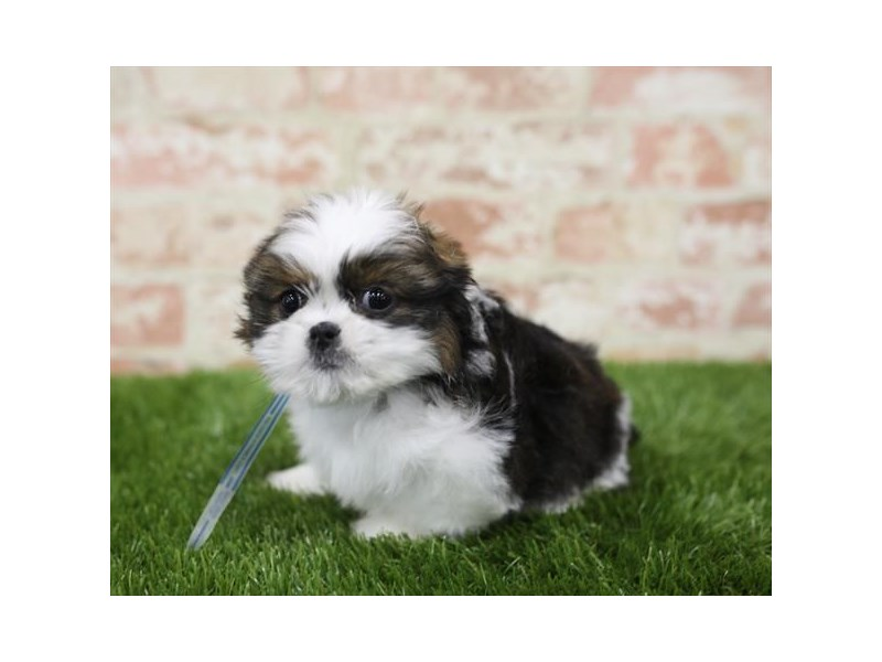 CavaTzu-DOG-Male-Sable / White-2710477-Petland Naperville
