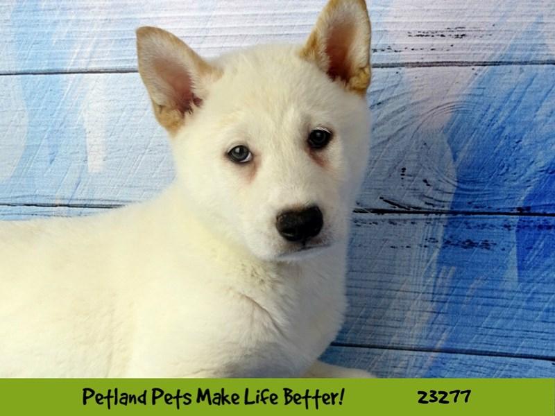 Shiba Inu-Male-Cream-2715183-Petland Naperville