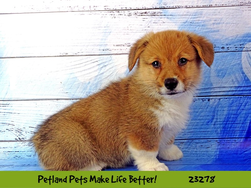 Pembroke Welsh Corgi-DOG-Male-Sable and White-2715218-Petland Naperville