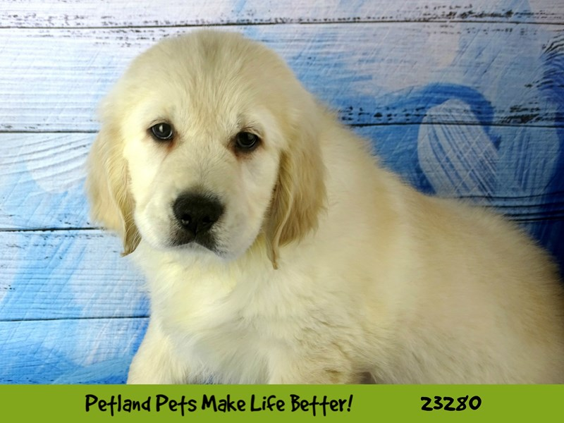 Golden Retriever-DOG-Male-Cream-2715280-Petland Naperville