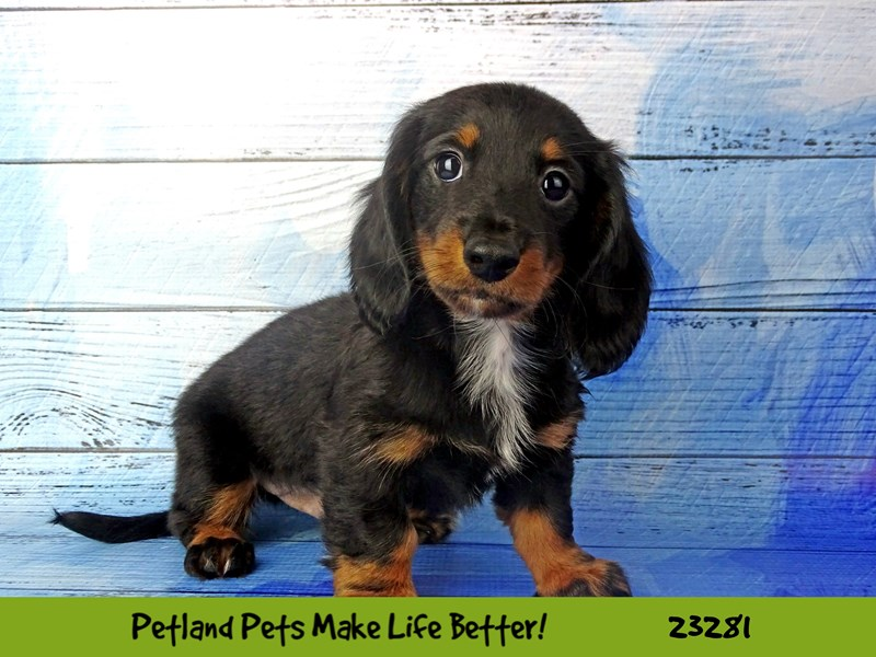 Dachshund-DOG-Male-Black and Tan-2715346-Petland Naperville