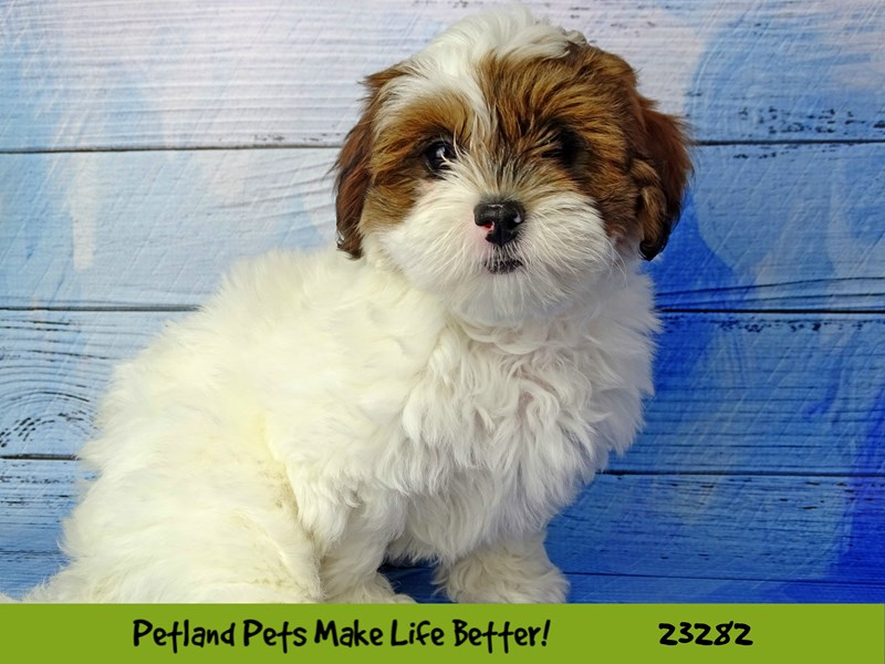 Havanese-Female-Brown / White-2715361-Petland Naperville