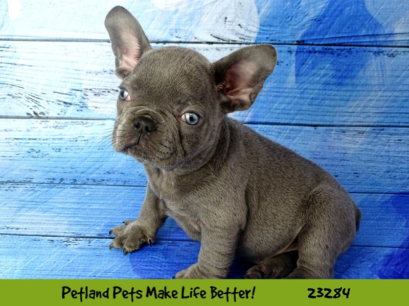 French Bulldog-DOG-Male-Lilac-2715362-Petland Naperville