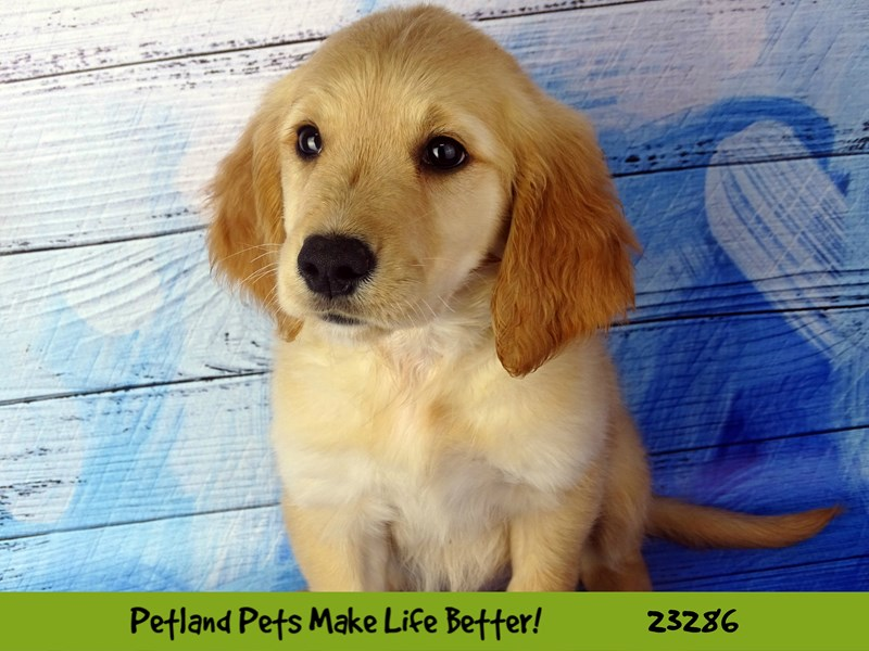 Golden Retriever-DOG-Female-Golden-2715364-Petland Naperville