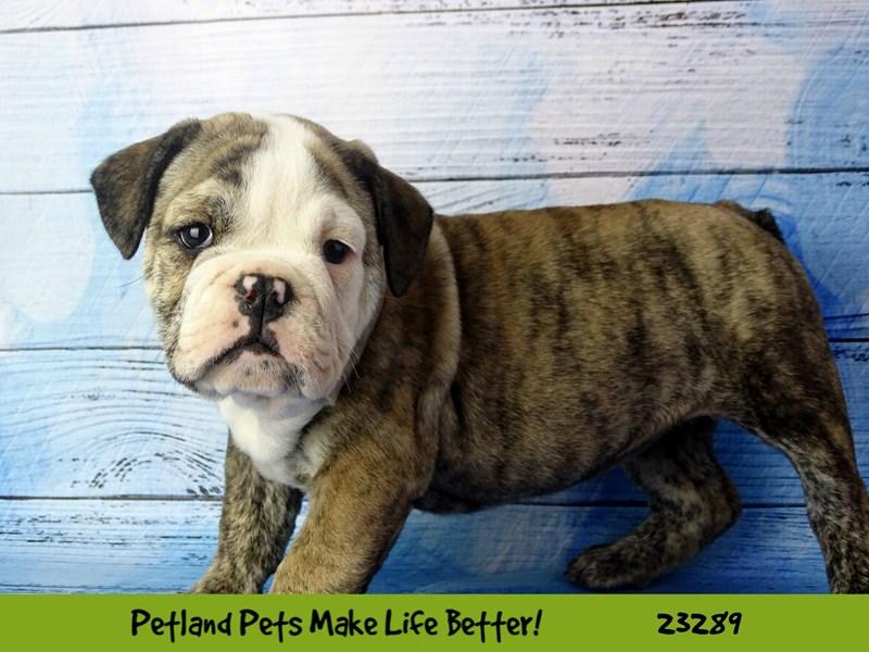 Bulldog-DOG-Female--2715162-Petland Aurora