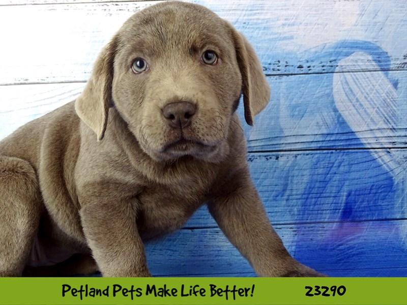 Labrador Retriever-Female-Silver-2715707-Petland Naperville