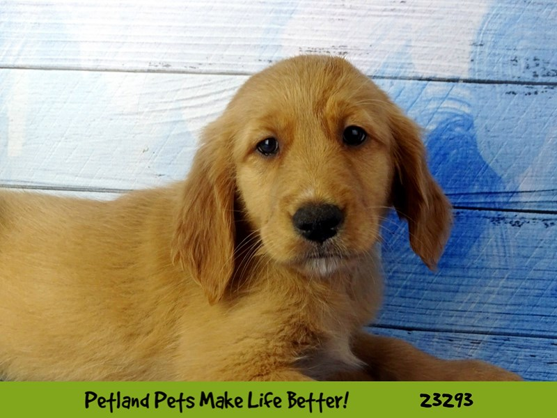 Golden Retriever-DOG-Female-Golden-2715828-Petland Naperville