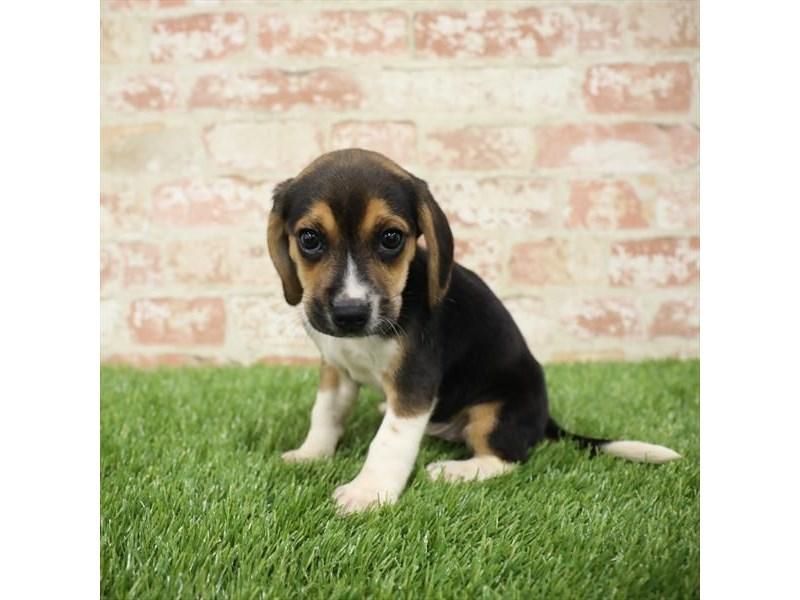 Beagle-DOG-Male-Tri-Colored-2717255-Petland Naperville