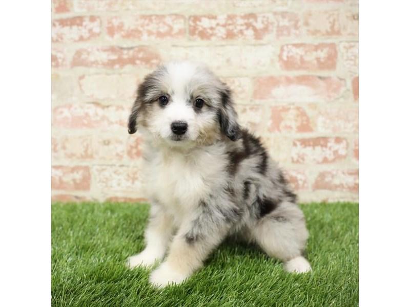 Aussiedoodle-DOG-Female-Blue Merle-2717261-Petland Naperville