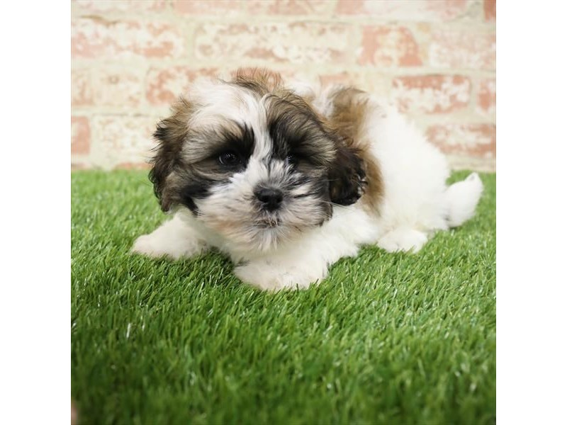 Teddy Bear-DOG-Male-Gold / White-2717263-Petland Aurora