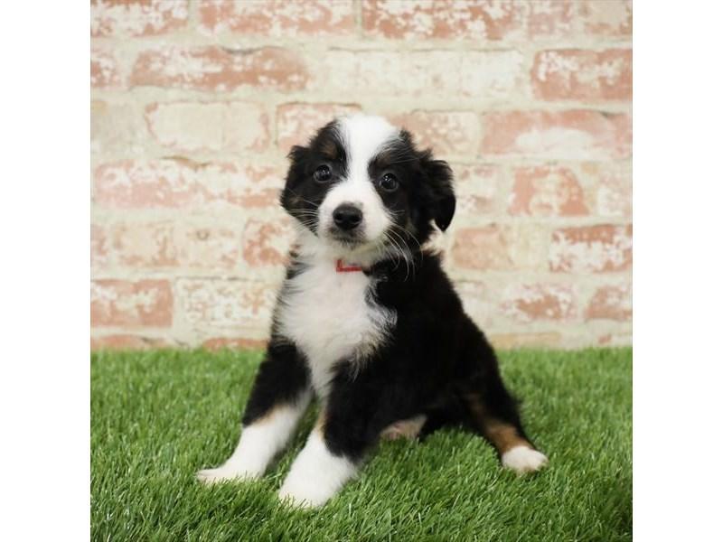 Miniature Australian Shepherd-DOG-Male-Black-2717273-Petland Naperville