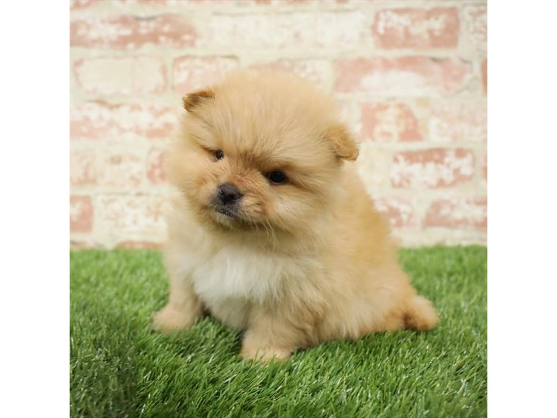 Pomeranian-Male-Orange-2717278-Petland Naperville
