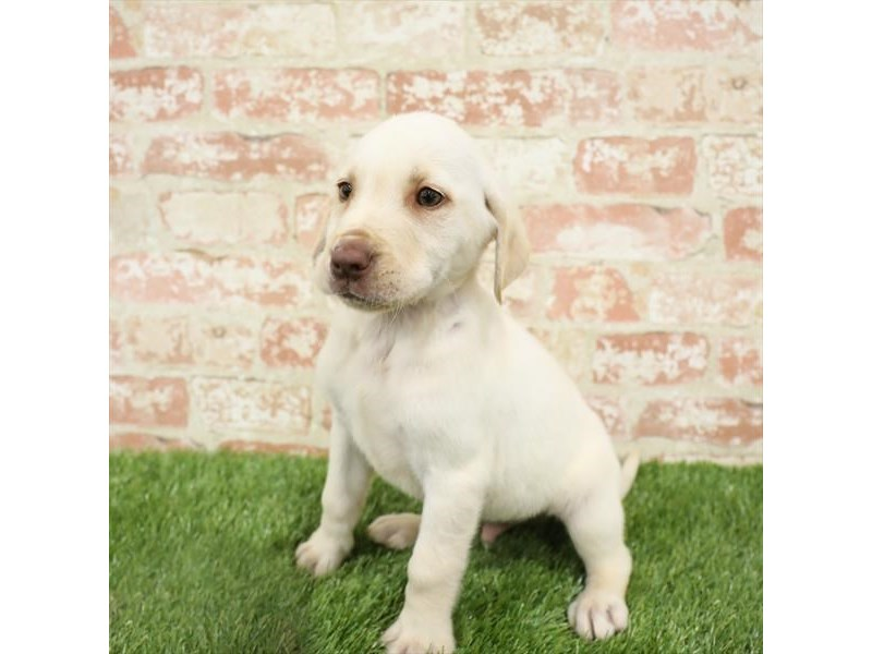 Labrador Retriever-Male-Yellow-2717322-Petland Naperville