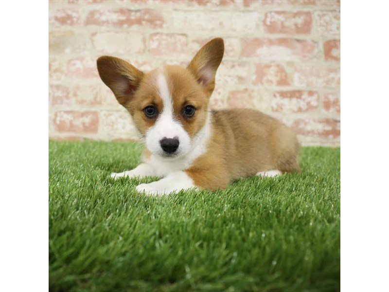 Pembroke Welsh Corgi-DOG-Female-Sable / White-2717323-Petland Naperville