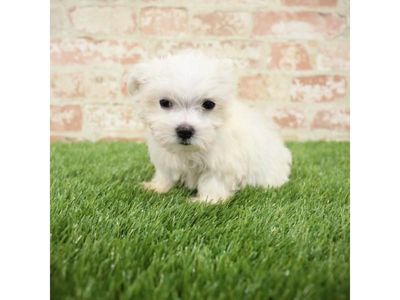 Maltese-DOG-Male-White-2717324-Petland Aurora