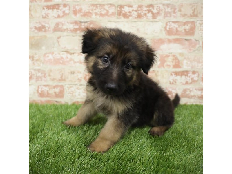 German Shepherd Dog-DOG-Male-Black / Tan-2717326-Petland Naperville