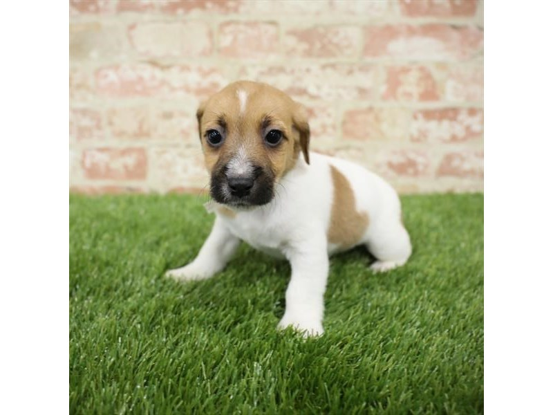 Jack Russell Terrier-DOG-Male-White-2717327-Petland Naperville