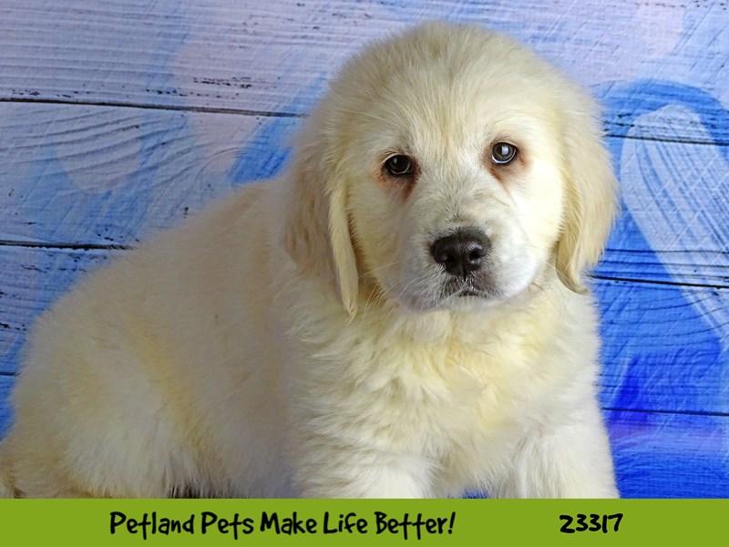 Golden Retriever-DOG-Female-Light Golden-2721791-Petland Aurora