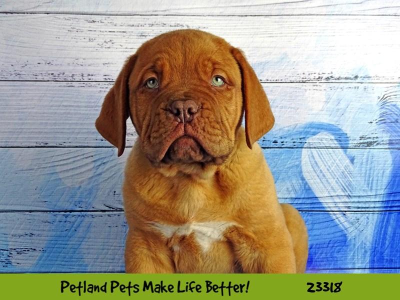 Dogue De Bordeaux-Male-Red-2721840-Petland Aurora