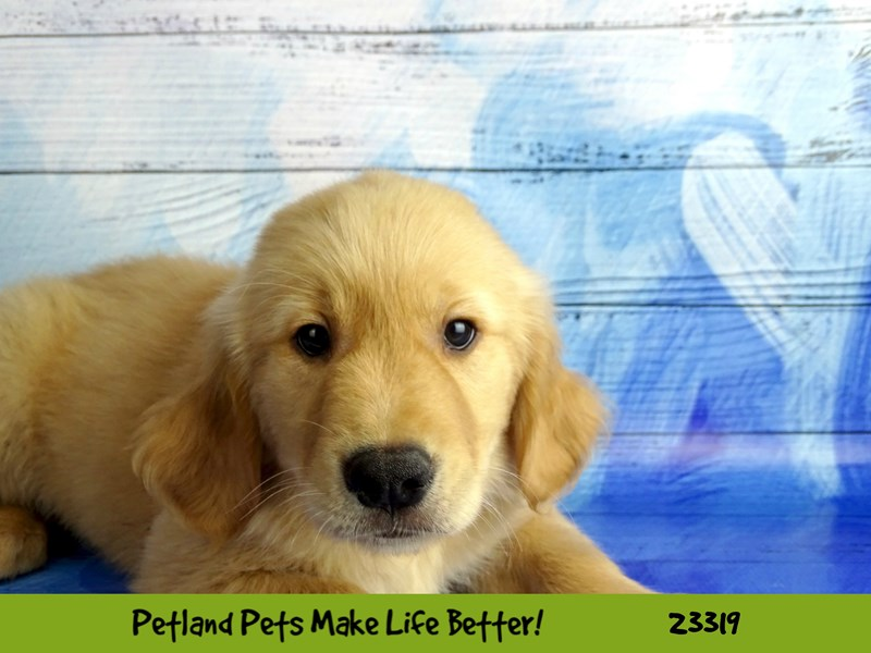 Golden Retriever-DOG-Male-Golden-2721841-Petland Naperville
