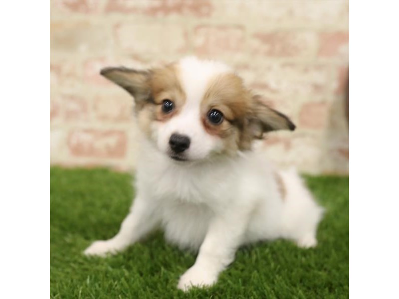 Papillon-Male-White / Sable-2723825-Petland Naperville