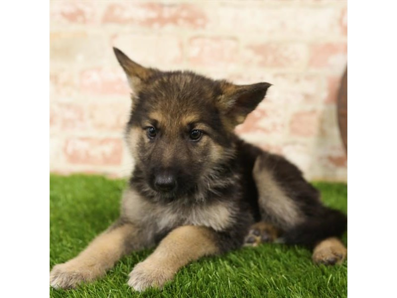 German Shepherd Dog-Female-Black / Tan-2723896-Petland Naperville