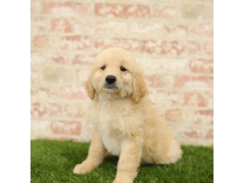 Goldendoodle-DOG-Male-Golden-2723897-Petland Naperville