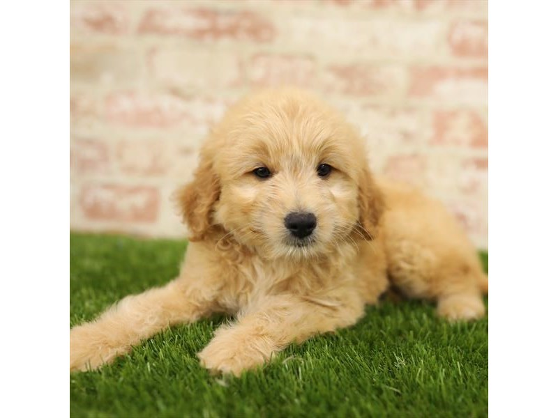 Goldendoodle-Male-Golden-2723898-Petland Naperville