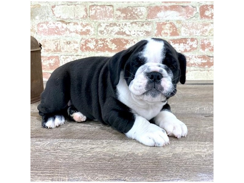 Bulldog-Male-Black / White-2676876-Petland Naperville