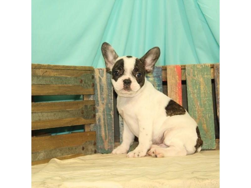 French Bulldog-DOG-Female-White / Brindle-2688667-Petland Naperville