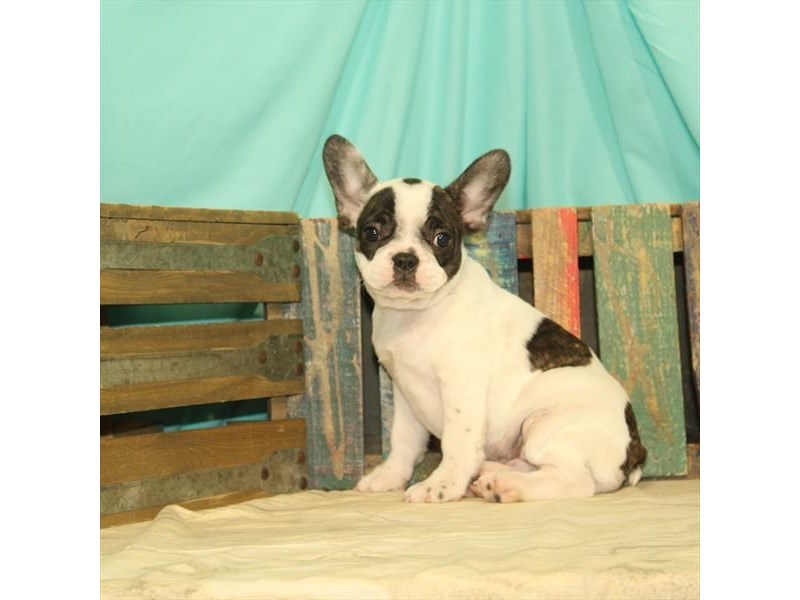 French Bulldog-DOG-Female-White / Brindle-2688667-Petland Aurora
