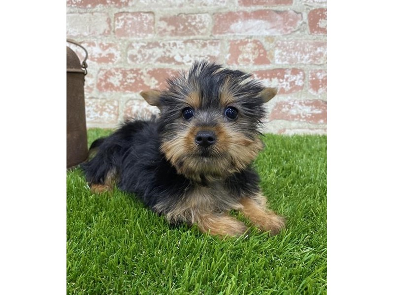Silky Terrier-DOG-Female-Black / Tan-2703590-Petland Naperville