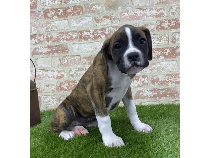 Boxer-DOG-Female-Brindle / White-2703601-Petland Aurora