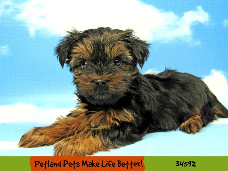 Yorkshire Terrier-DOG-Male-Black / Tan-2703686-Petland Naperville