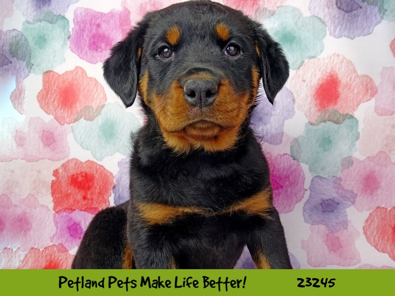 Rottweiler-Female-Black / Tan-2708956-Petland Naperville