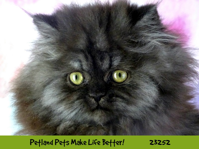 Persian-CAT-Male-Black Smoke-2709090-Petland Aurora