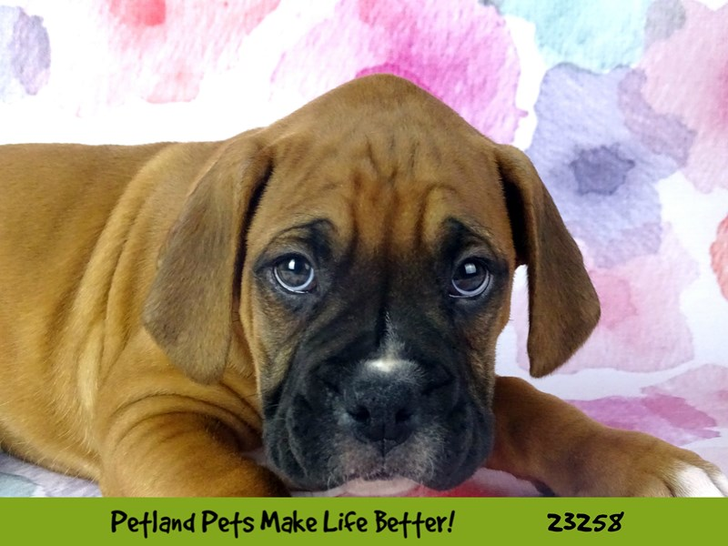 Boxer-Male-Fawn-2709197-Petland Naperville