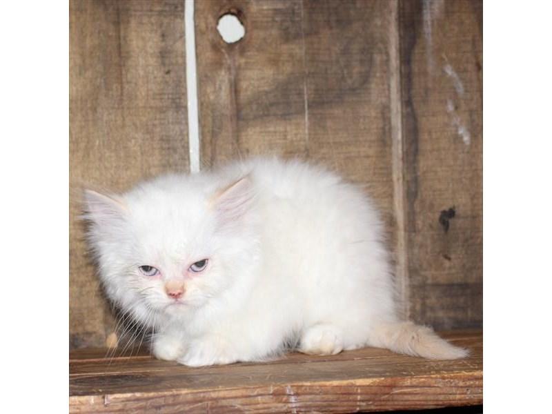 Persian-CAT-Male-Blue / White-2710321-Petland Naperville