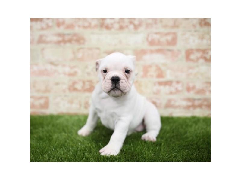 Victorian Bulldoge-Female-White-2710323-Petland Naperville