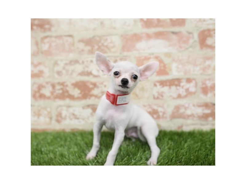 Chihuahua-Male-White-2710326-Petland Naperville