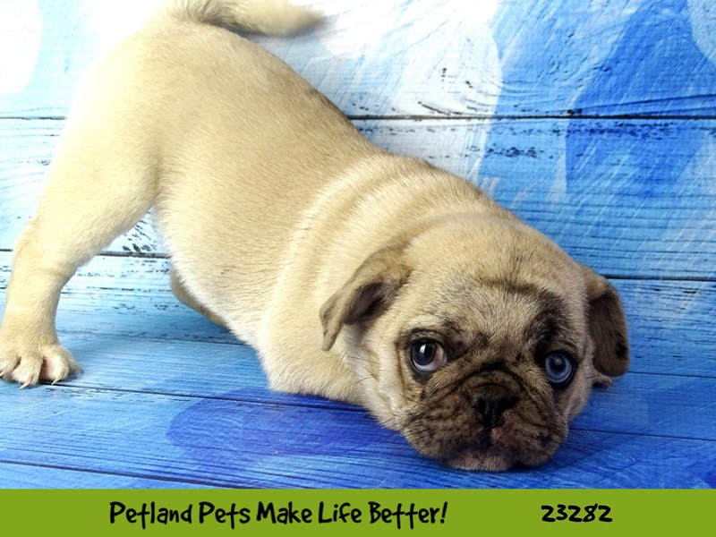 Pug-DOG-Female-Fawn-2715358-Petland Naperville