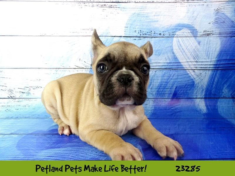 French Bulldog-DOG-Male-Fawn-2715365-Petland Aurora