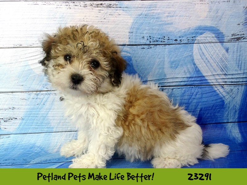 Poodle/Shih Tzu-DOG-Female-White / Gold-2715708-Petland Naperville