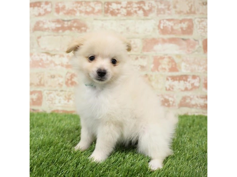 Pomapoo-DOG-Female-Cream-2717270-Petland Naperville