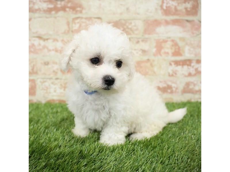 Bichon Frise-DOG-Female-White-2717271-Petland Naperville